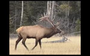 Boite rouge vif - La situation du caribou forestier