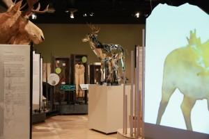 Vue d'ensemble de l'exposition « Panaches : caribous et autres cervidés du Canada » - Boite Rouge Vif