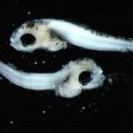 Scombridae_Larvae
